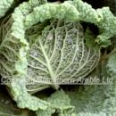 Savoy cabbage closer view of the head