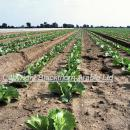 Lettuce crop on light soil