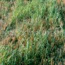 Couch grass in stubble