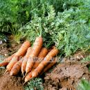 Bunch of carrots on soil showing green tops