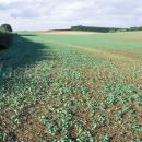 OIlseed rape in autumn, early growth stage 2 leaves