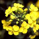 close up of oilseed rape flower