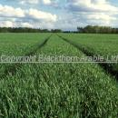 Field of wheat at GS 31-32