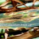 Septoria tritici lesions on flag leaf of winter wheat
