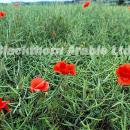 Poppies in oilseed rape crop