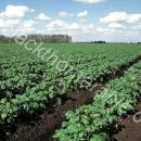 Field of potatoes being grown on peaty soil in the fens