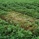 Lightning strike in potato crop