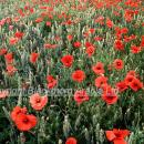 Wheat crop with high level of flowering poppies