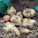 Potatoes, variety king edward freshly dug in sandy soil