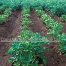 Potato crop showing patch caused by PCN