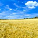 Ripening field of barley against a blue sky