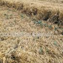 Lodged crop of winter wheat with volunteer potatoes growing through