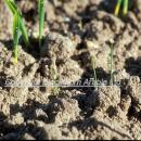 Blackgrass at emergence in a barley crop