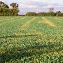Oilseed rape crop in autumn showing strips of sprayed off volunteers wheat