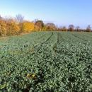 Oilseed rape crop in autumn showing autumn colour on leaves, late October-Early November