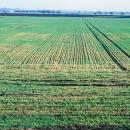 Manganese  deficiency in wheat showing in late winter on organic soil in the fens
