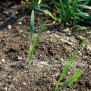 Wild oats shortly after emergence in winter wheat