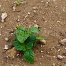 Small volunteer potato growing in sandy soil