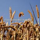 Ripe wheat ears against a deep blue sky