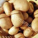 Basket of white potatoes, variety estima grown for Bakers