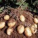 Potato plant dug up showing tubers