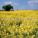 Flowering oilseed rape crop
