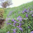 Bluebells in a ditch bank in spring. Taken near St Ives Cambridgeshire