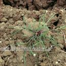 Blackgrass plant on over-wintered  ploughed land