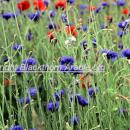 Cornflowers in a field margin with some poppies in the background