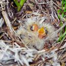 skylark chicks in a nest seen in a sugar beet field