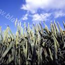 Closeup of Wheat at green ears against blue sky
