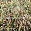 Mixture of grass weeds including barren, meadow bromes and blackgrass above a wheat crop