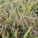Barren brome heads above wheat in ear