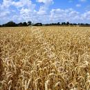 Field of ripe wheat in norfolk