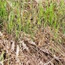 Wheat crop lodged by brome grasses and regrowth