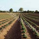 View down the rows of an emerging potato crop