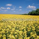 Flowering oilseed rape crop with a vivid blue sky