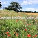 Flowers in a norfolk field margin july