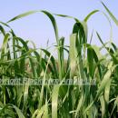 Close up of wild oat flag leaves above a cereal crop
