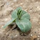Young field bean plant