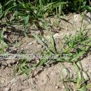 Brome grass in winter wheat in spring