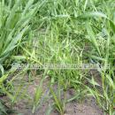 Brome grasses, mainly barren brome in the base of a wheat crop at GS 31 in spring