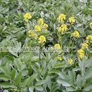 Weeds, charlock flowering  above bean crop