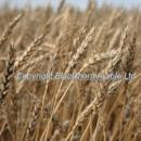 Ripe crop of wheat variety AC Barrie, this is Red wheat used in Hovis bread