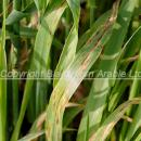 Leaf stripe on barley volunteers in stubble