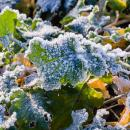 Oilseed rape leaves covered in frost