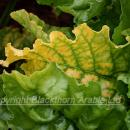 Virus yellows infected beet plant
