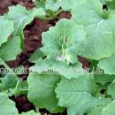 Mealy aphid damage to young oilseed rape plants in autumn