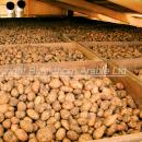 Potato variety King Edward in box storage. High risk of CIPC chlorpropham MRL problem