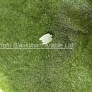Beet leaf miner /mangold fly eggs on back of sugar beet leaf